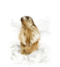 Tableau Marmotte aux aguets