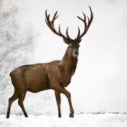 Toile Cerf marchant dans la neige